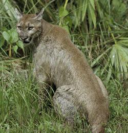 e82cca9b8e5 Big Cats In Panama