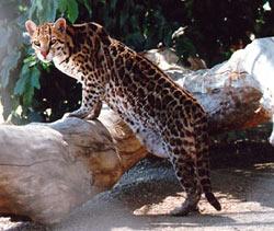 fdde3e33a91 The ocelot (Leopardus pardalis